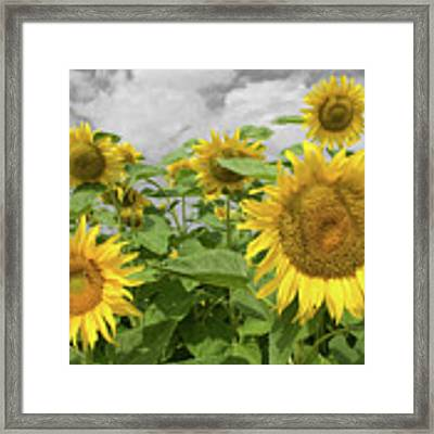 Sunflowers I Framed Print by Dylan Punke
