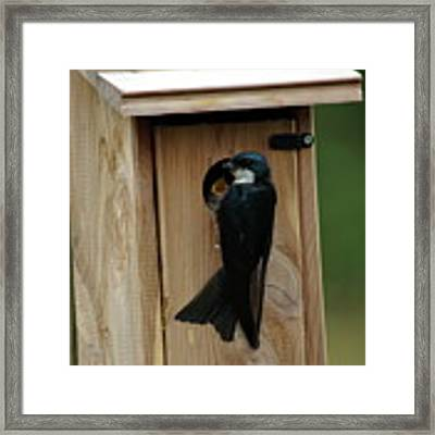 Swallow Feeding Young Framed Print by Ben Upham III