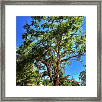 The Turtleback Tree Framed Print by Lorraine Devon Wilke