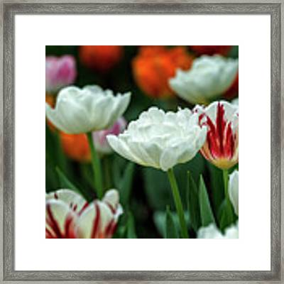 Tulip Flowers Framed Print by Pradeep Raja Prints