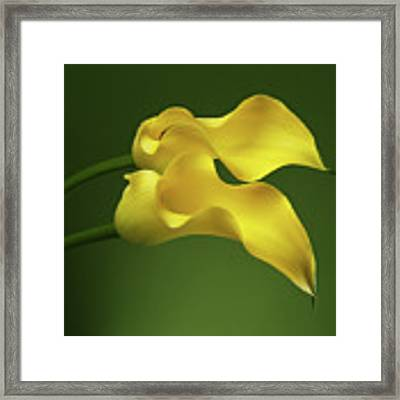 Two Calla Lily Flowers On Green Background Framed Print by Sergey Taran