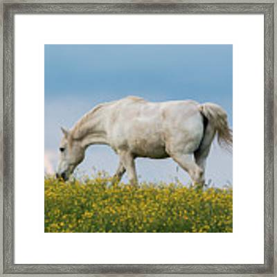 White Horse Of Cataloochee Ranch 2 - May 30 2017 Framed Print by D K Wall