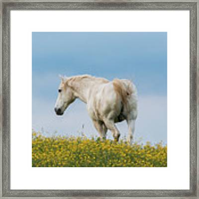 White Horse Of Cataloochee Ranch - May 30 2017 Framed Print by D K Wall