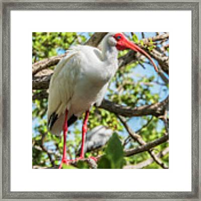 White Ibis In Tree Framed Print by Bob Slitzan