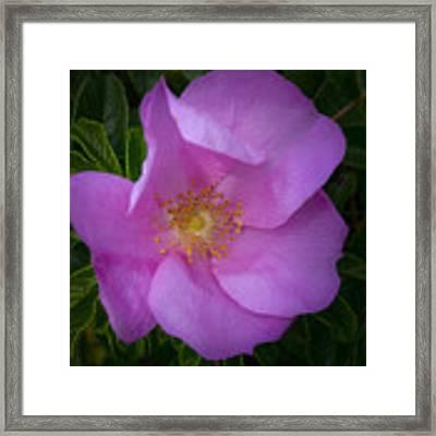 Wild Rose Framed Print by Garvin Hunter