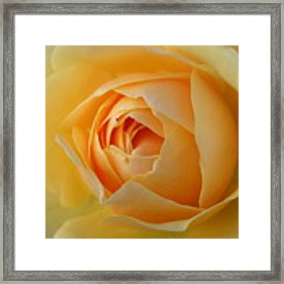 Yellow Graham Thomas Rose Framed Print by Jocelyn Friis