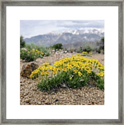 Yellow Mountain Blooms Framed Print by Margaret Pitcher