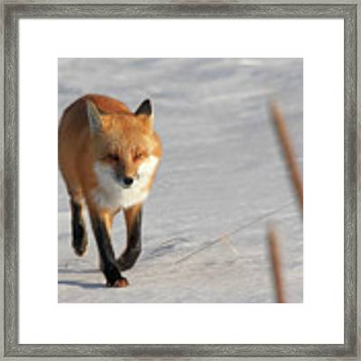 Just Passing Through Framed Print by Susan Rissi Tregoning