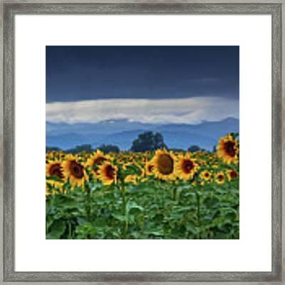 Sunflowers Under A Stormy Sky Framed Print by John De Bord