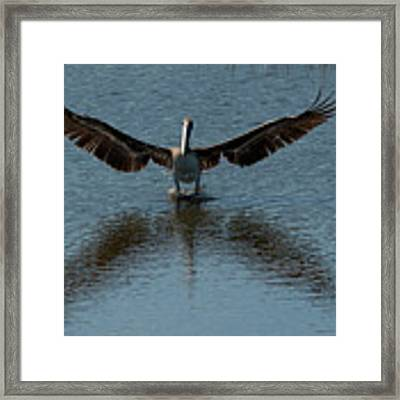 Brown Pelican Landing And Taking Off Looking For Fish Framed Print by Dan Friend