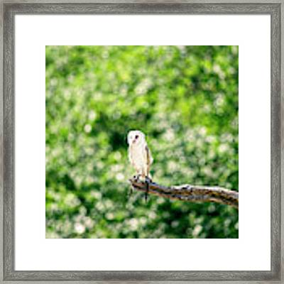Beautiful Barn Owl Framed Print by Rob D Imagery