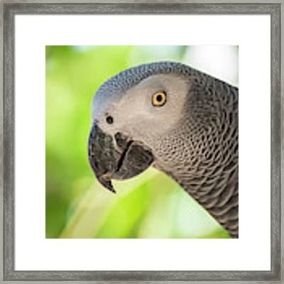 African Grey Parrot Framed Print by Rob D Imagery