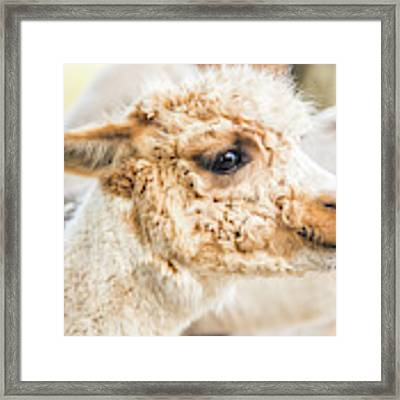 Alpaca In A Field. Framed Print by Rob D Imagery