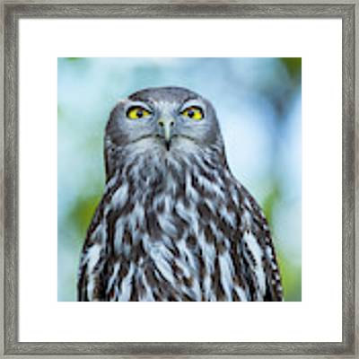 Barking Owl Framed Print by Rob D Imagery