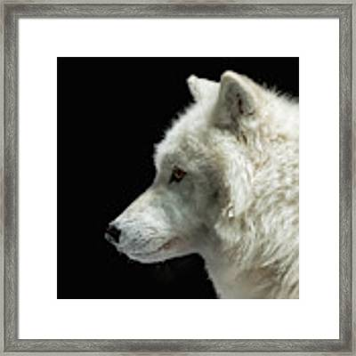 Arctic Wolf In Profile Framed Print by Susan Rissi Tregoning