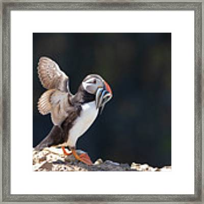Atlantic Puffin With Sand Eels Framed Print by Elliott Coleman