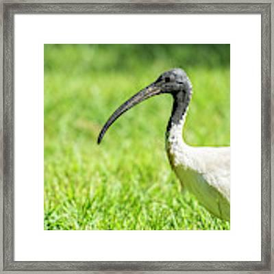 Australian White Ibis Framed Print by Rob D Imagery