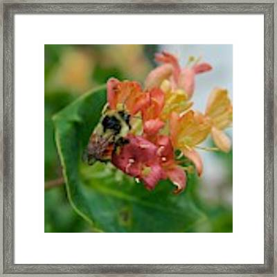 Bee On Wild Honeysuckle Framed Print by Ann E Robson