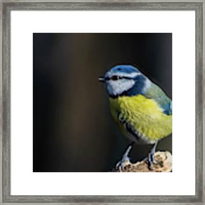 Blue Tit Sitting On Wood Framed Print by Scott Lyons