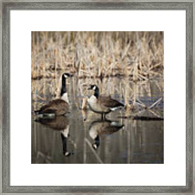 Canada Geese On The Marsh Framed Print by Jemmy Archer