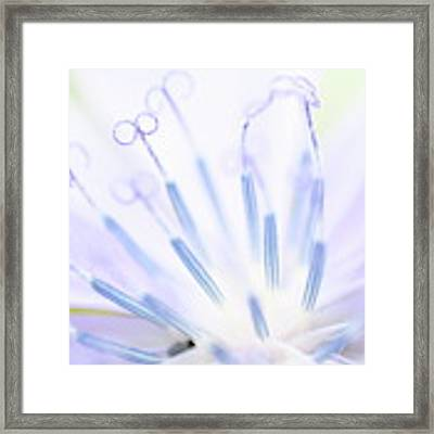 Chicory Luminescence Framed Print by Dylan Punke