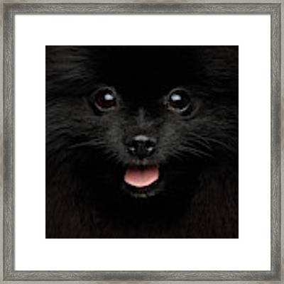 Close-up Portrait Of Happy Pomeranian Spitz Dog Framed Print by Sergey Taran