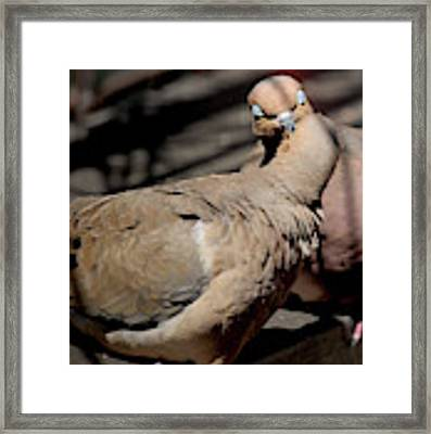 Cooing Mourning Doves 1 Framed Print by Patricia Youngquist