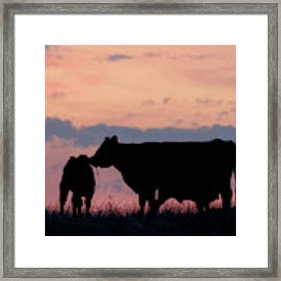 Cow And Calves After Sunset 01 Framed Print by Rob Graham