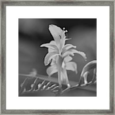 Crocosmia 2 Framed Print by Jeni Gray