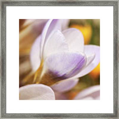Crocus Framed Print by Whitney Goodey