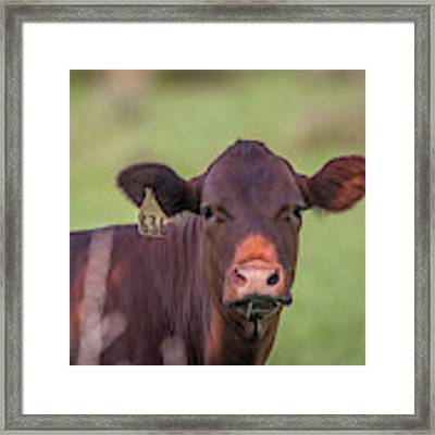 Curious Cow #636 Framed Print by Tom Claud