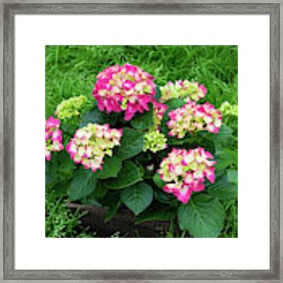Decorative Floral Pink Hydrangeas C031619 Framed Print by Mas Art Studio