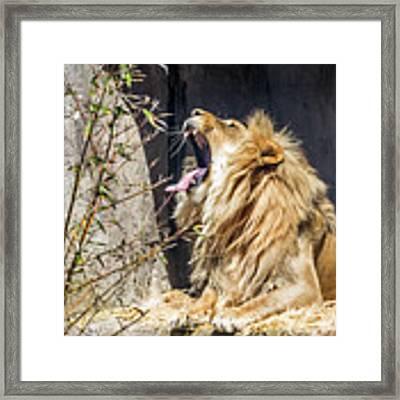 Fierce Yawn Framed Print by Kate Brown