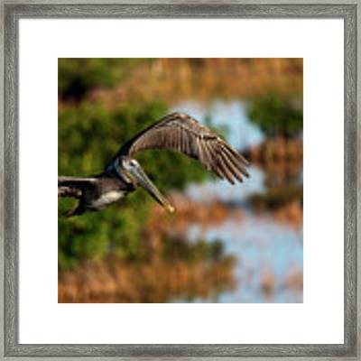Flying Around Looking For Fish To Eat Framed Print by Dan Friend