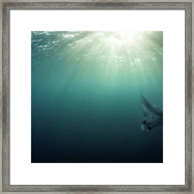 Giant Manta Ray Framed Print by Nicole Young