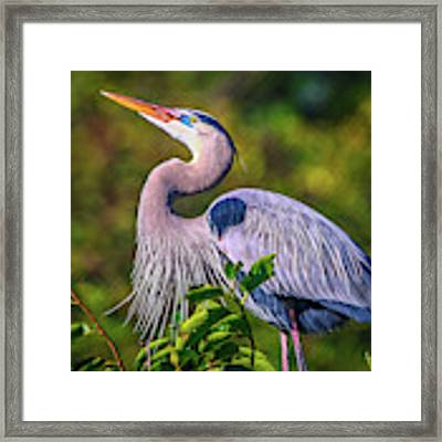 Great Blue In Mating Plumage Framed Print by Tom Claud