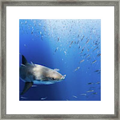 Great White Shark Framed Print by Nicole Young
