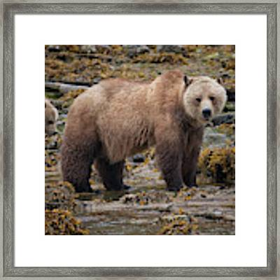 Grizzlies Framed Print by Randy Hall