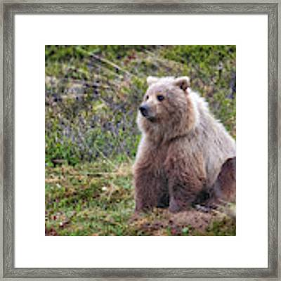 Grizzly Sitting Framed Print by David A Lane