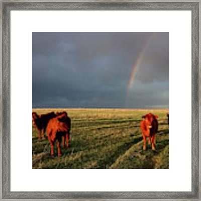 Heifers And Rainbow Framed Print by Rob Graham