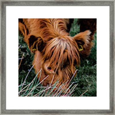 Highland Cow Eating Close Up Framed Print by Scott Lyons