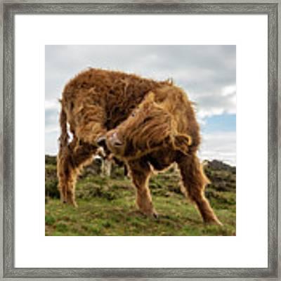 Highland Cow Having A Scratch Framed Print by Scott Lyons