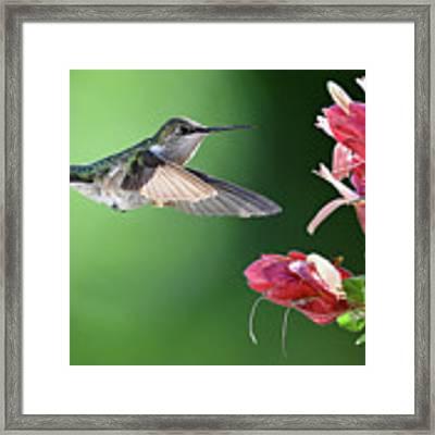 Hummingbird Arrives At Flower Framed Print by William Jobes