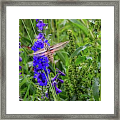 Hummingbird Moth And Larkspur Framed Print by Dawn Richards