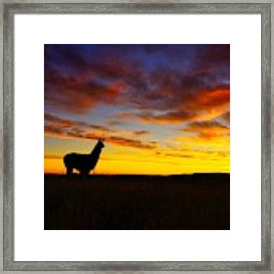 Llama At Sunrise Framed Print by Bryan Smith