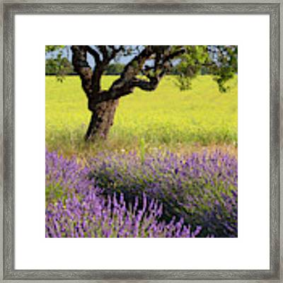 Lone Tree In Lavender And Mustard Fields Framed Print by Brian Jannsen