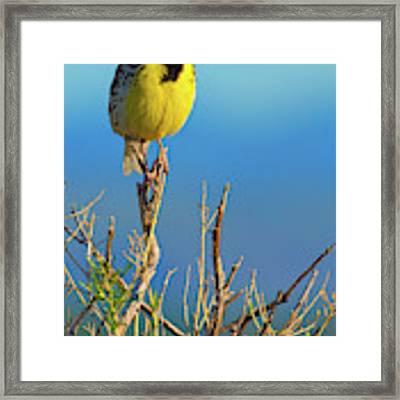 Meadowlark Framed Print by John De Bord