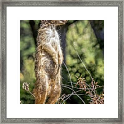 Meerkat Alert Framed Print by Kate Brown