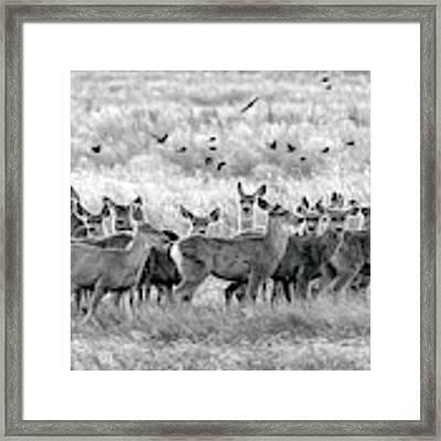 Mule Deer Black And White 01 Framed Print by Rob Graham