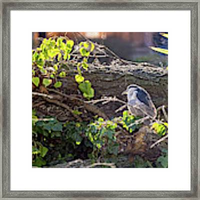 Night Heron At The Palace Revisited Framed Print by Kate Brown